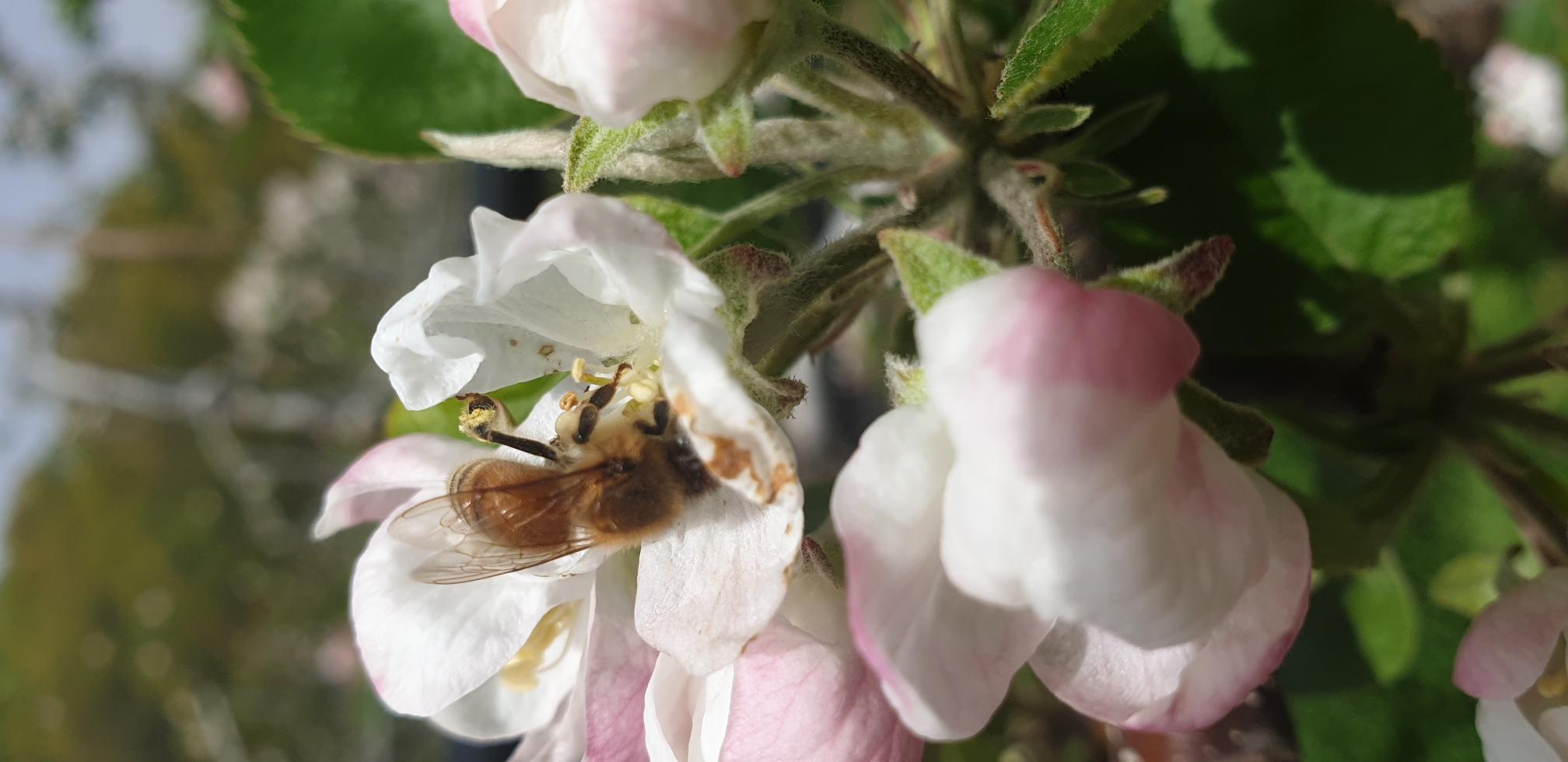 사과꽃 수정