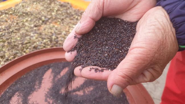 첫수확 도라지씨앗