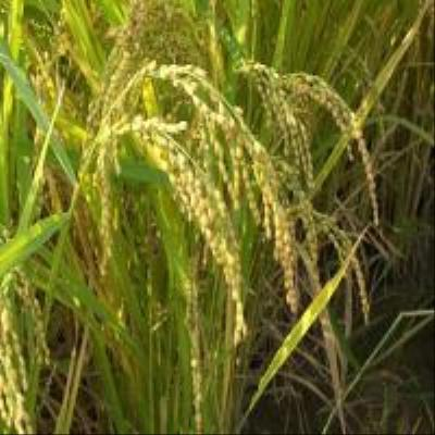 친환경쌀(고시히까리)..