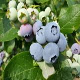 블루베리(효소,잼,담금주용)